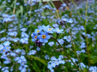 forget-me-not-3965_640